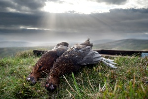brace-of-grouse